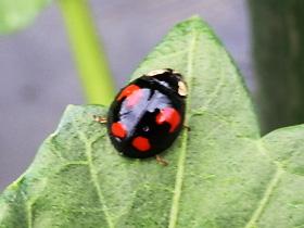 テントウムシの幼虫色々。食べ物は?育て ...